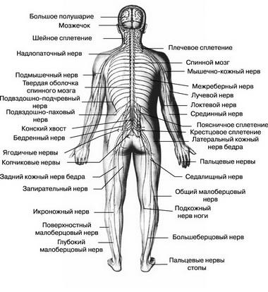 Система передачи нервных импульсов