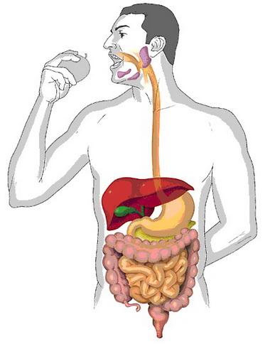 Дыхание и пищеварение